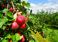 Maine Commercial & Agricultural Photography - Apples on the Tree