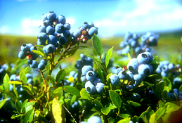 Maine Commercial & Agricultural Photography - Maine Farm Blueberries